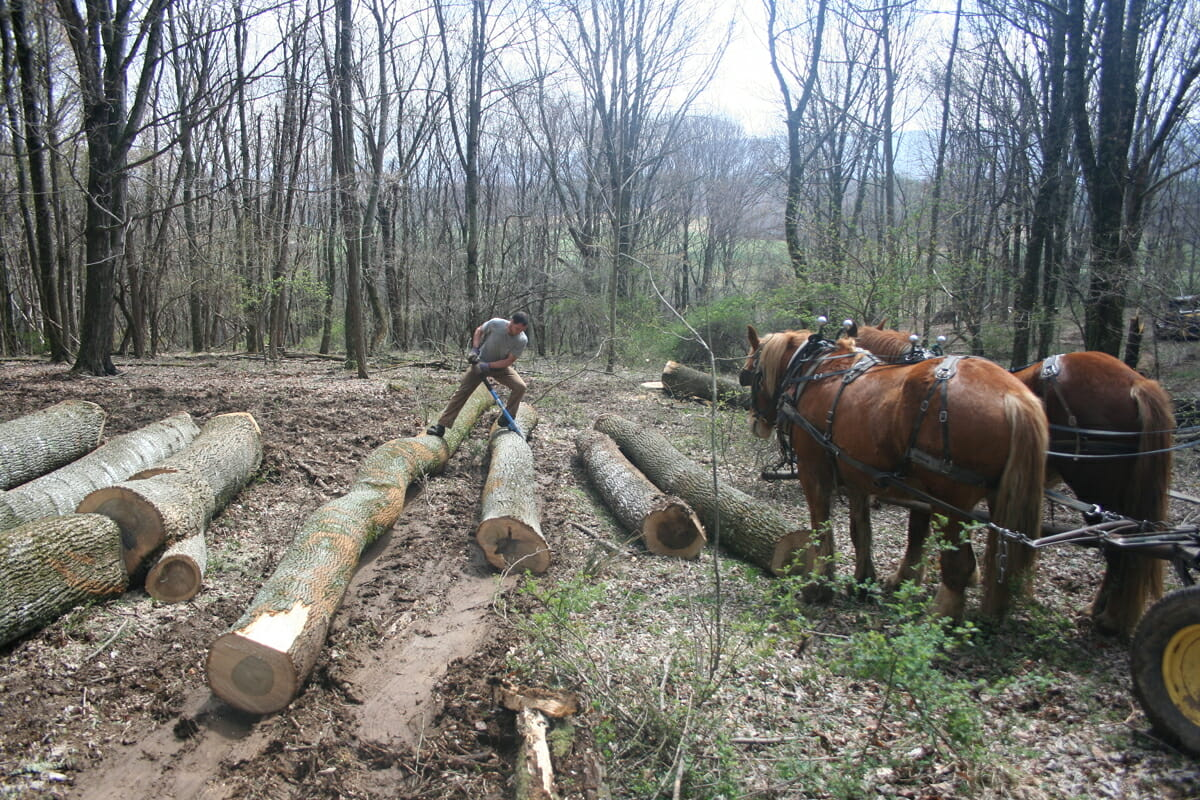 Harris rolls over a log to clear space for the next one, while his horses look on.