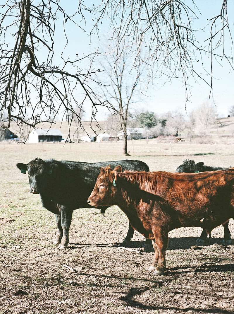 Cows at one of Prather's ranches outside Redding, California, where they are taken during the winter.
