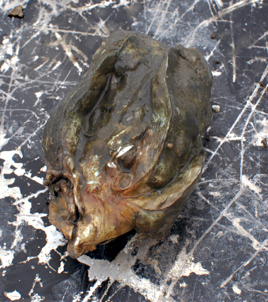 A wild oyster pulled from a bed on Justin Manley's shellfish lease