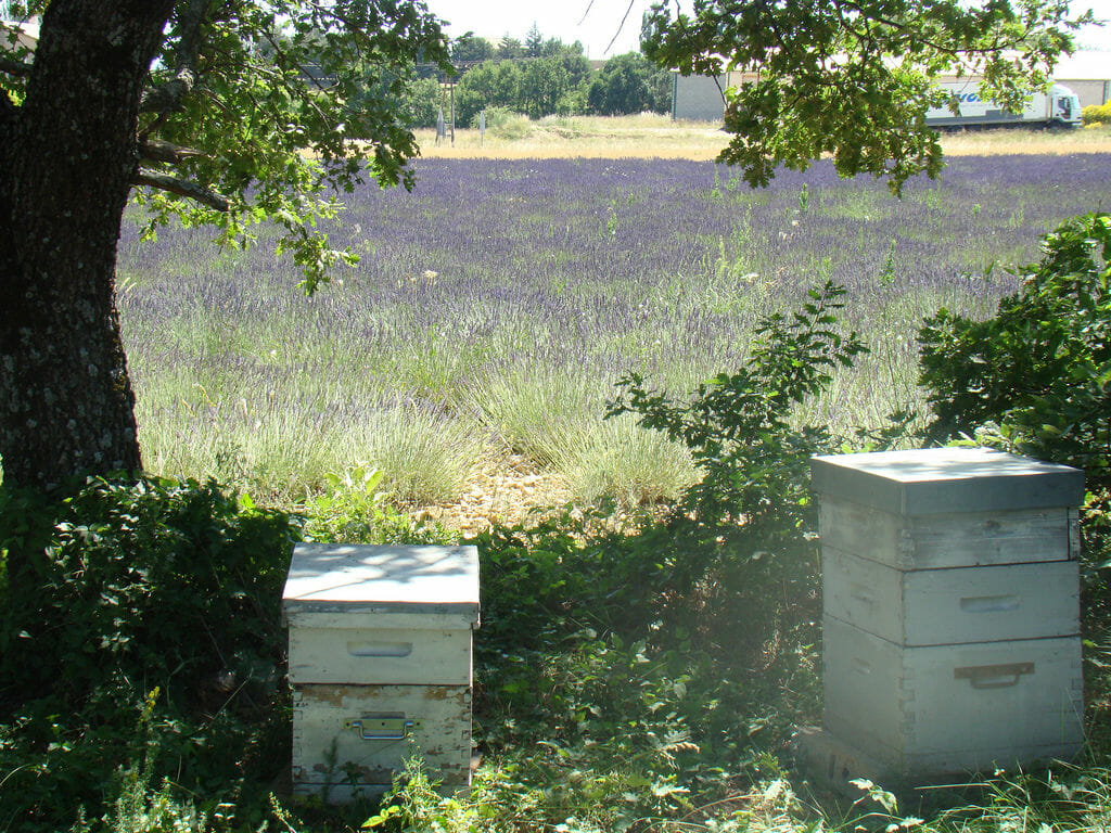 Beehives in a provence lavender field. Photo: UniqueProvence