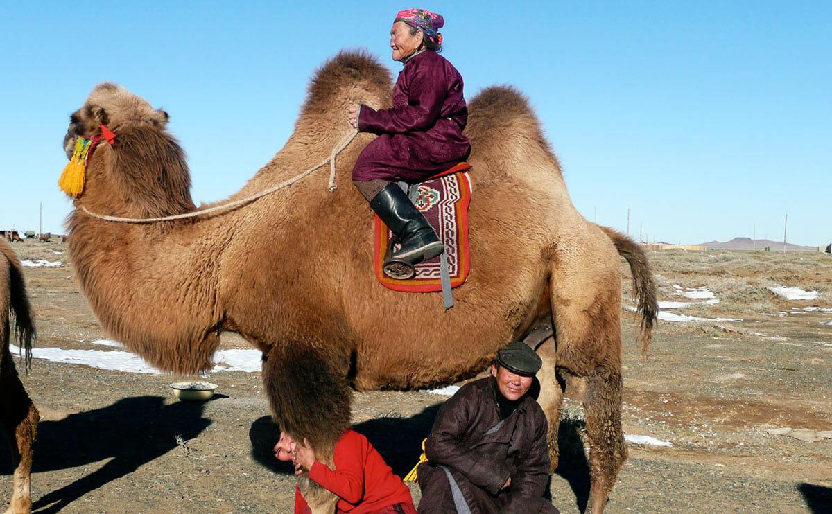 ask a mongolian camel herder   modern farmer