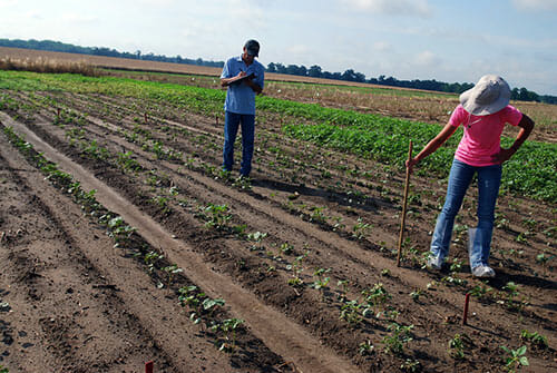 Stanley Culpepper and a research assistant measure cotton plant growing as part of an experiment.
