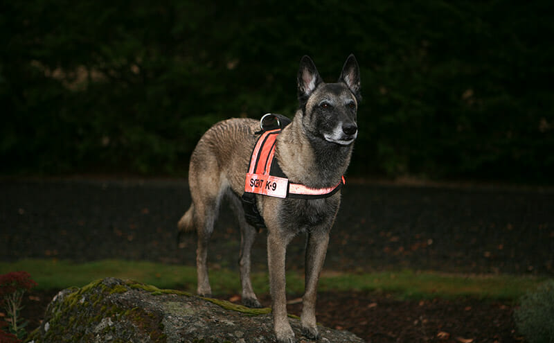 Kris Jacobson's Belgian Malinois Ilsa, one of the best in the business. Photo Credit: Kris Jacobson