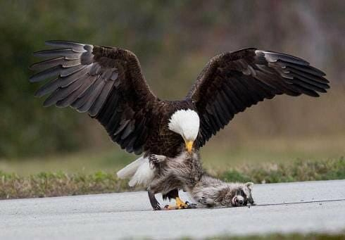 A bald eagle grabs dinner at KSC.