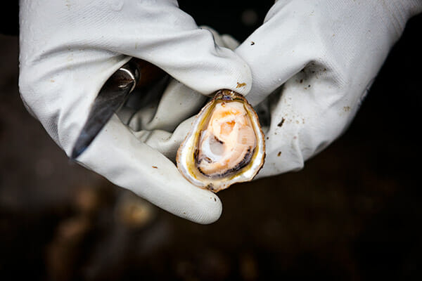 A fresh Olympia oyster is shucked.