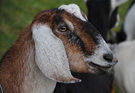 A Nubian goat from Oak Knoll Dairy.