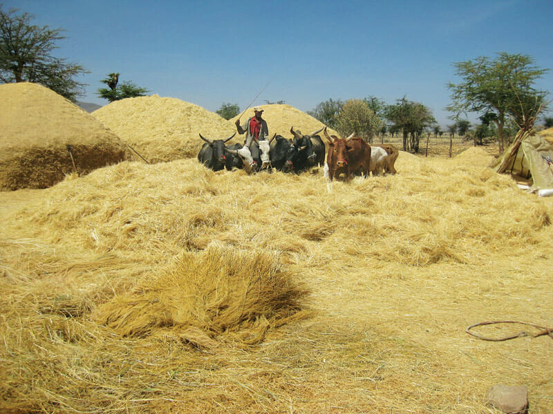 Oxen trample Ethiopian teff crops, threshing, or loosening, the edible parts of the grain.