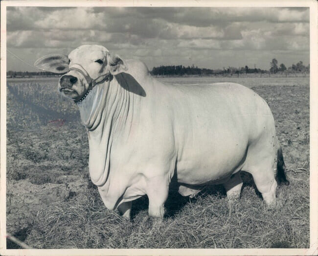 Original 8 in. x 10 in. Black and White Photo of Brahma Cow Miss Dusty Manso, Dated 1957