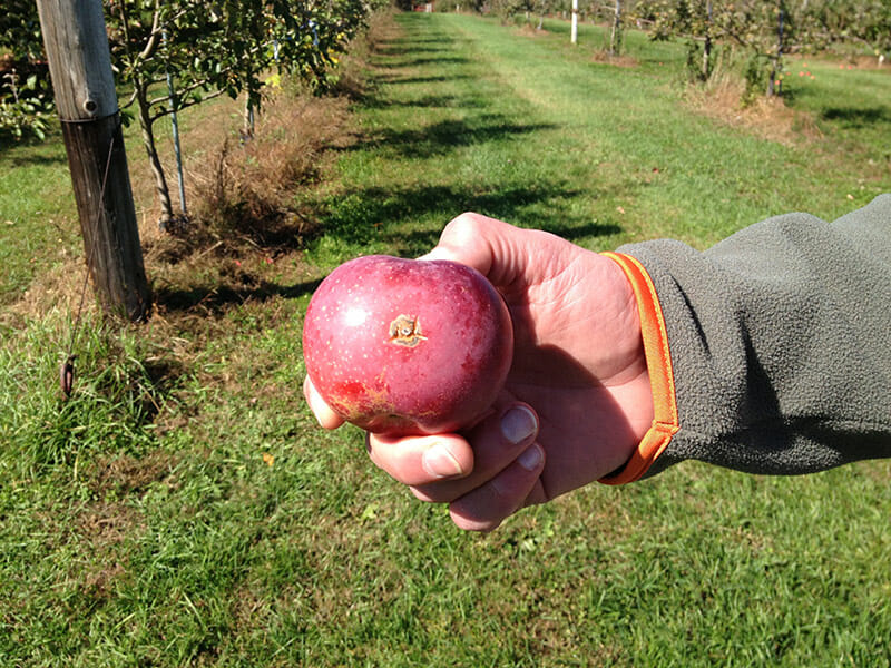 UNH plant pathologist Kirk D. Broders holds up an apple with a scab.