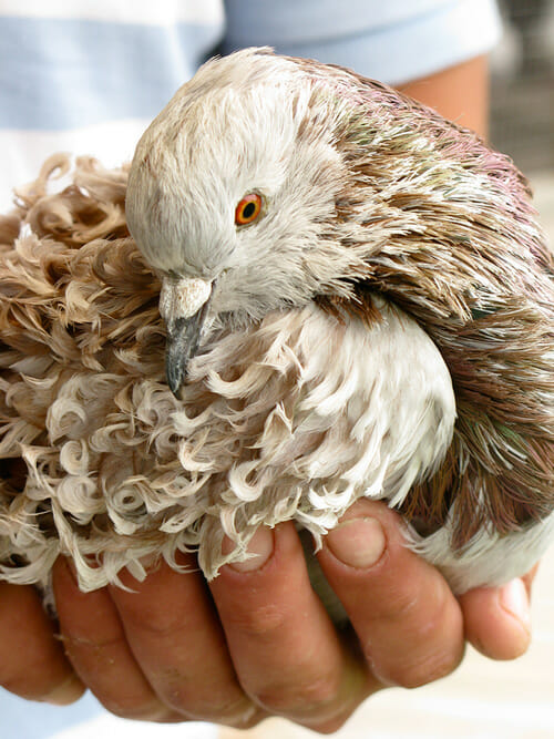 A close up of one of Rémy's pigeons.