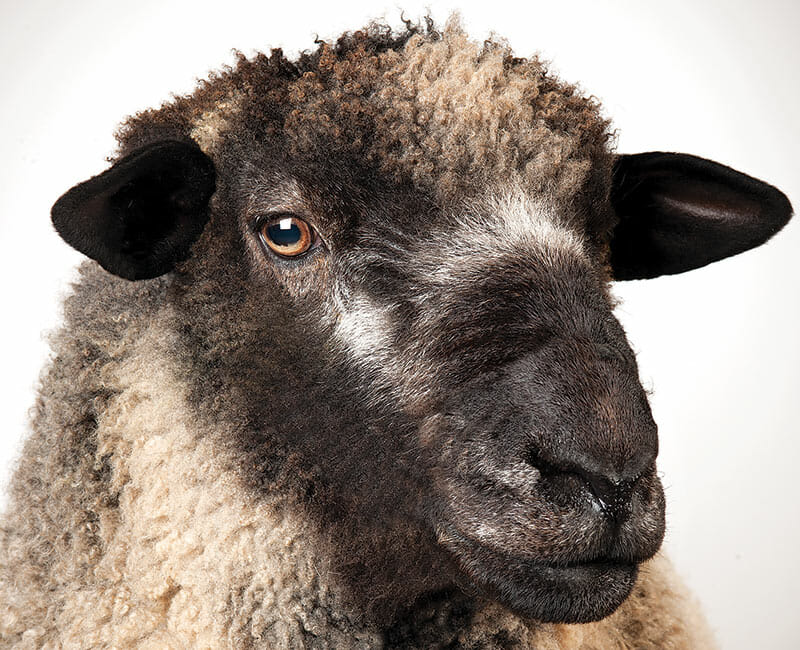 The Romney sheep, a long-wooled variety commonly raised in the UK and New Zealand.