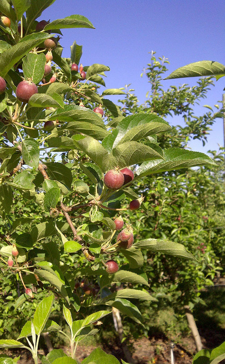 Arctic apples growing in Washington State test block.
