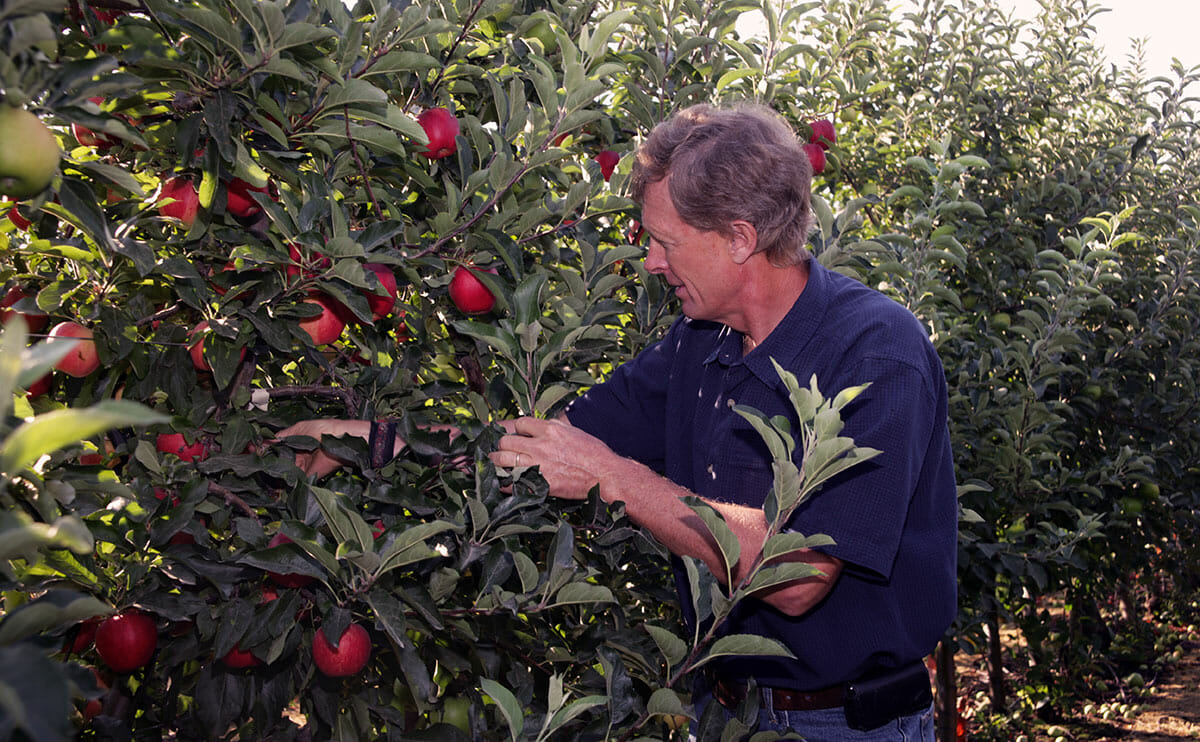 OSF president Neal Carter picking an Arctic apple.