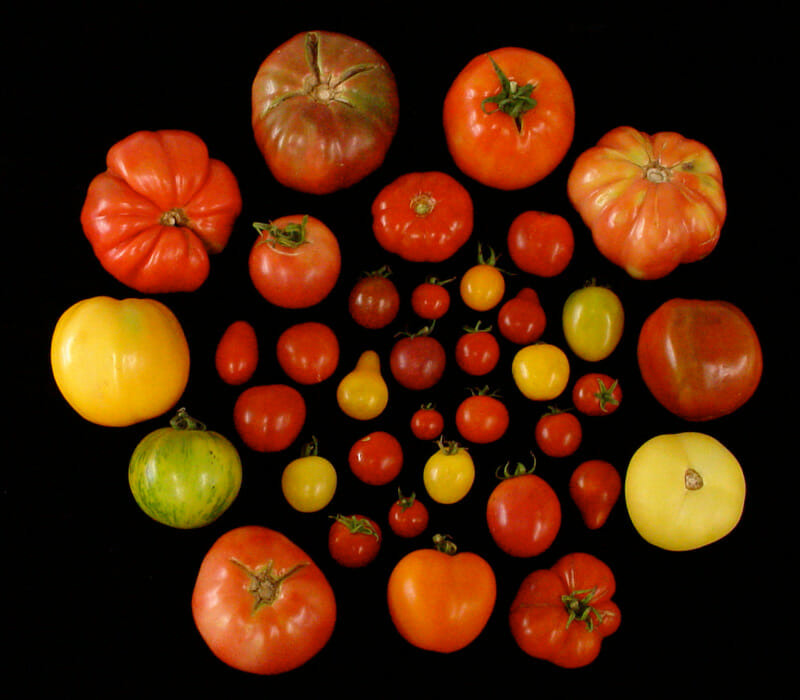 Heirloom tomato variations / Harry Klee
