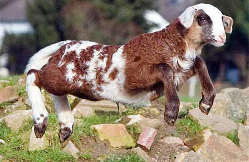 Sheep goat