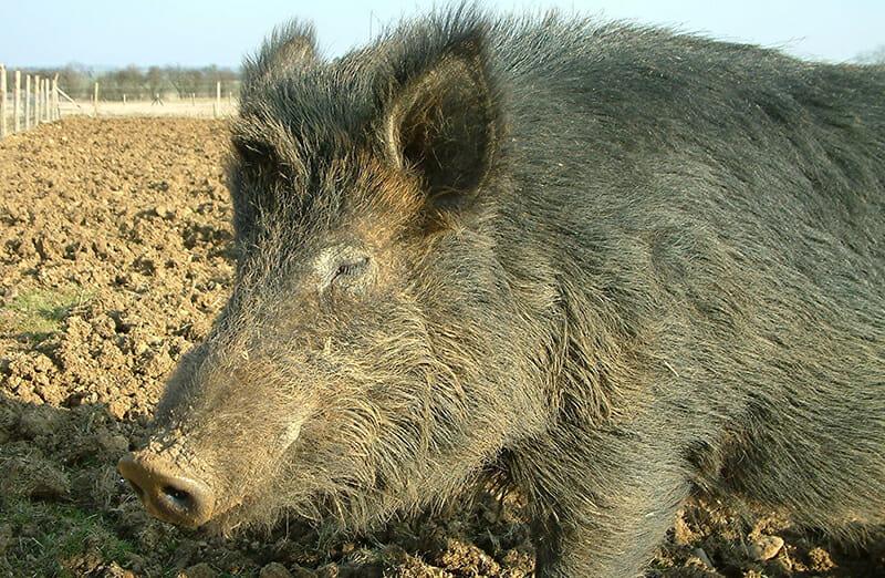 iron age pigs