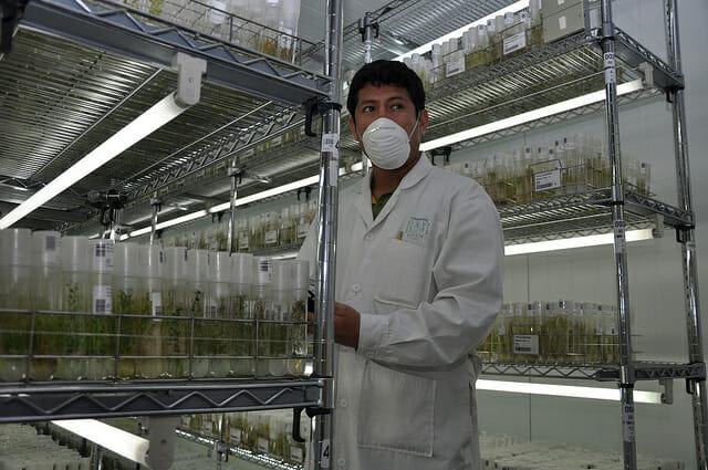 A genebank worker at the International Potato Center. / Cary Fowler/Global Crop Diversity Trust