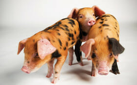 Oxford-&-Sandy-piglets_Modern-Farmer_Richard-Bailey-2