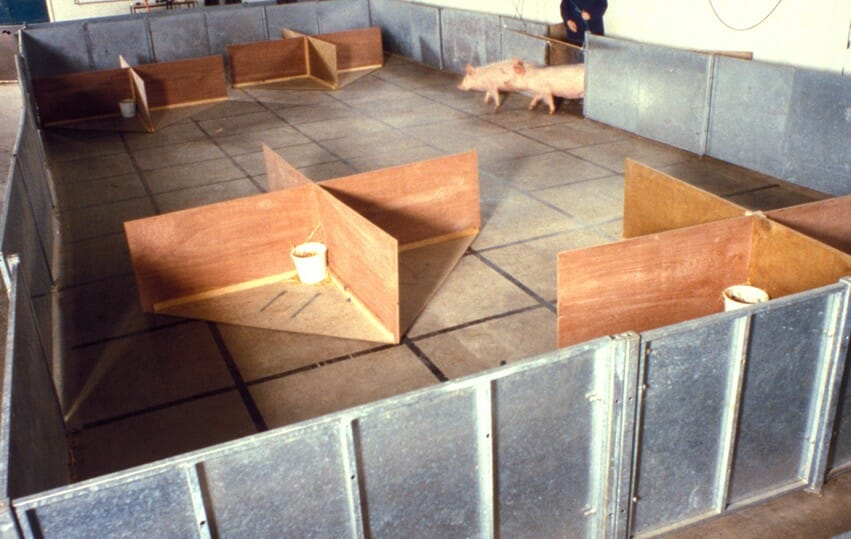 As part of Mike Mendel's research at Bristol University, pigs are tasked with locating food in a series of buckets. / Bristol University