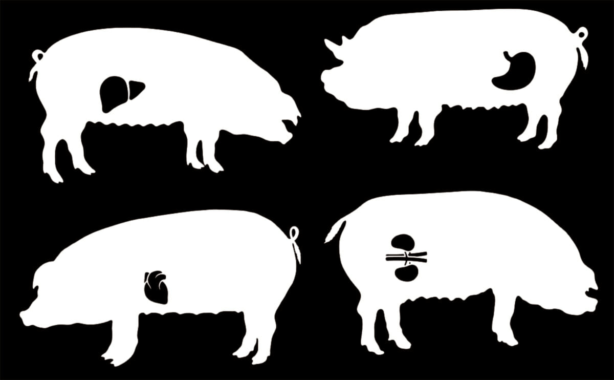 The Quest to Grow Human Organs Inside Pigs Comes to the U