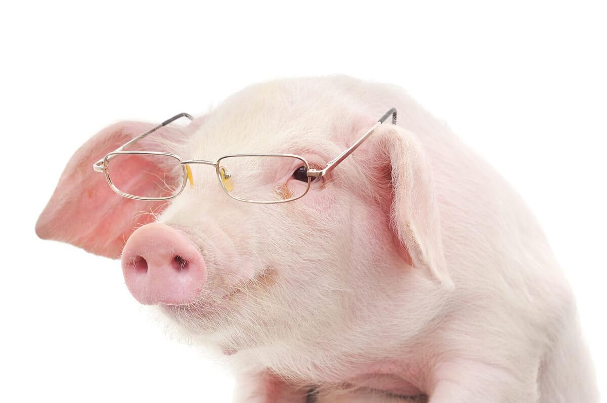 Pigheaded How Smart Are Swine Modern Farmer