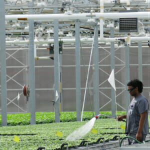 A Medicago employee waters the plants
