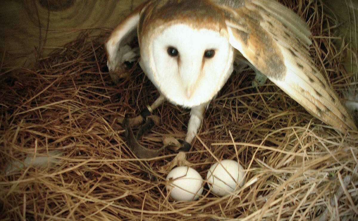 Owl Nests Pictures How to Build a Barn Owl Nest