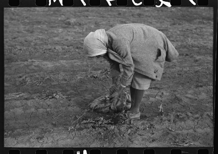 Turnip For What 10 Vintage Pictures Of Turnip Farming Modern Farmer