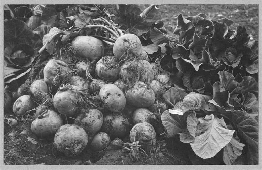 Turnip For What 10 Vintage Pictures Of Turnip Farming