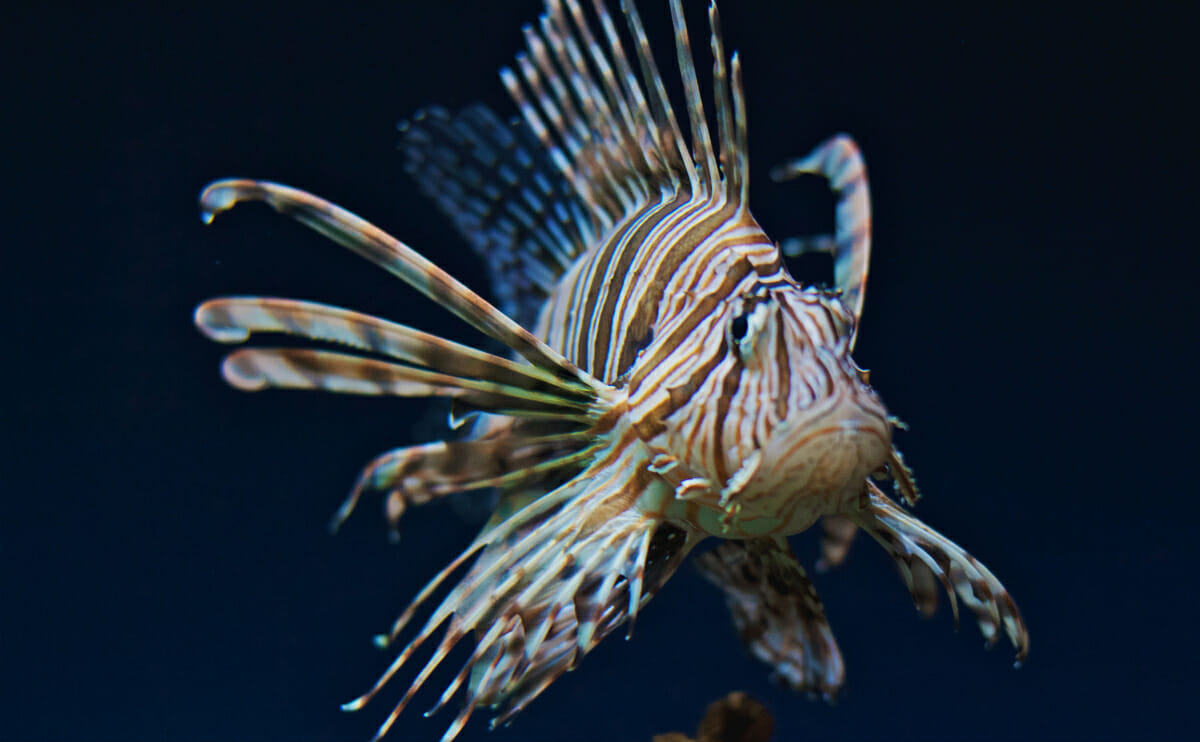 Lionfish Are Seriously The Scariest Fish In The Ocean