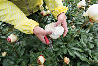 Beth VanSandt showing a flower bed she wants to cover, as this particular peony type catches too much water and can rot before fully opening.