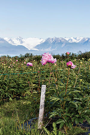 At the Chilly Root Farms in Homer, AK, the snow- covered Kenai Mountains form a backdrop to the peony fields.