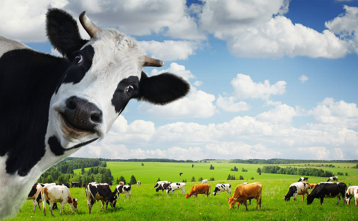 Give a Cow Its Due  Cow