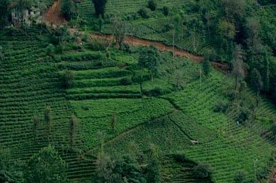 Turkish tea plantations in the Pontic Mountains near Rize, Turkey.
