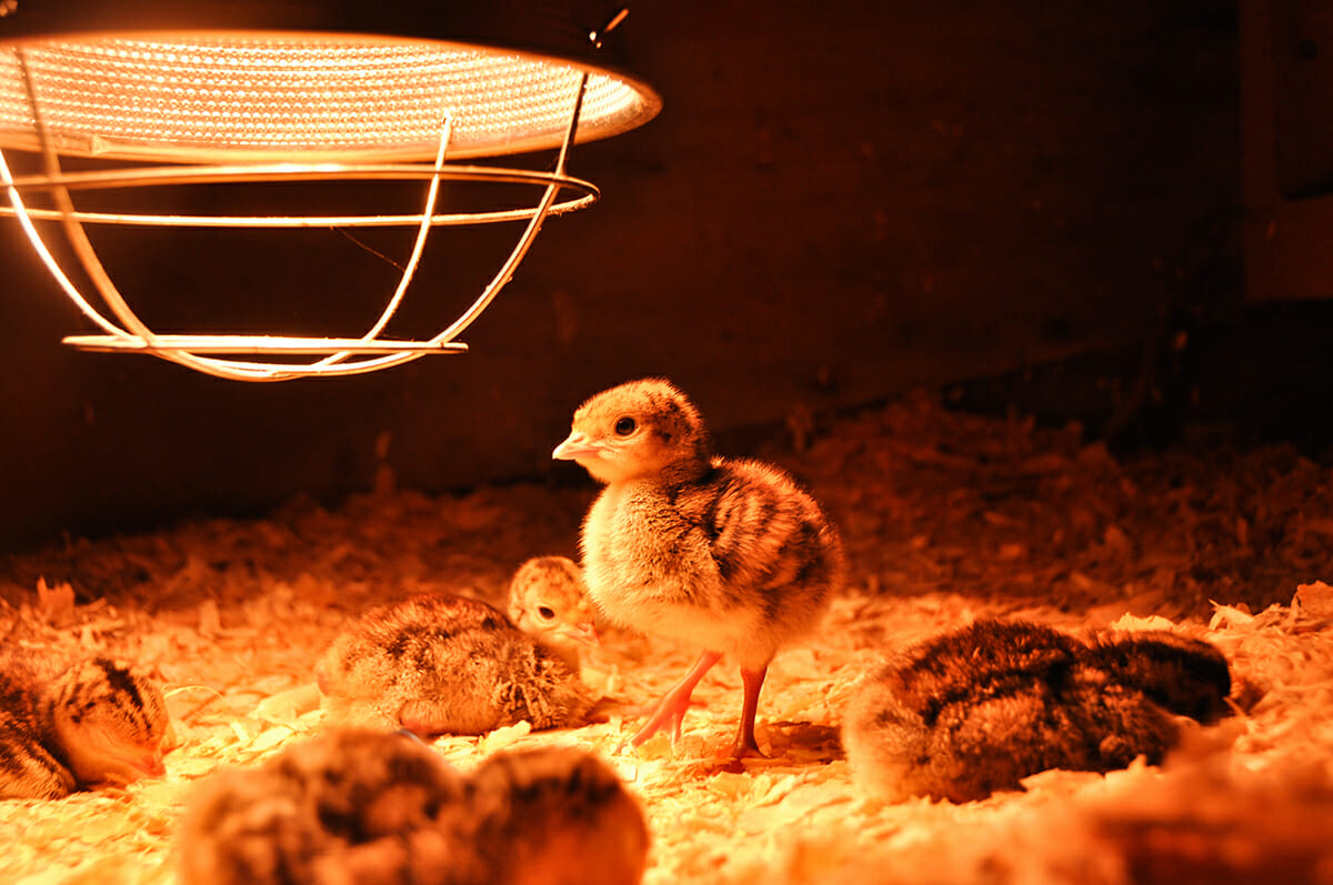 How To Build A Brooder Modern Farmer
