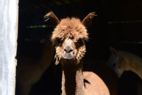Alpaca at Fountain House Farm at High Point in Montague, New Jersey.