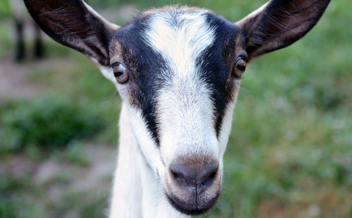 We Knew It: Goats Are Just as Clever and Cute as Dogs