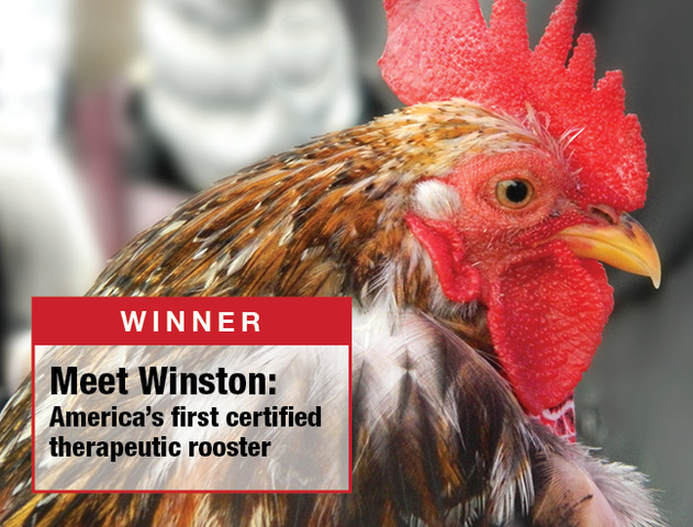 Winston of Willowick - America's First Therapeutic Chicken