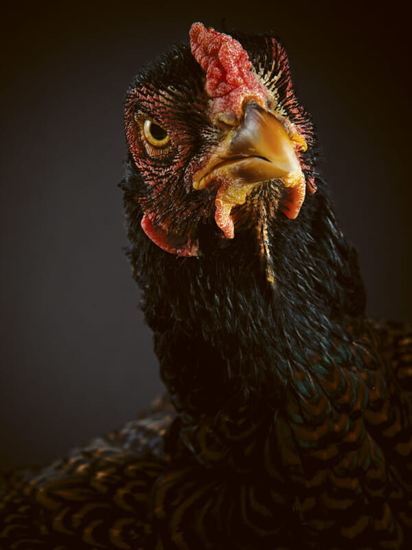 http://modernfarmer.com/wp-content/uploads/2013/04/Chicken-Indiangame.jpg