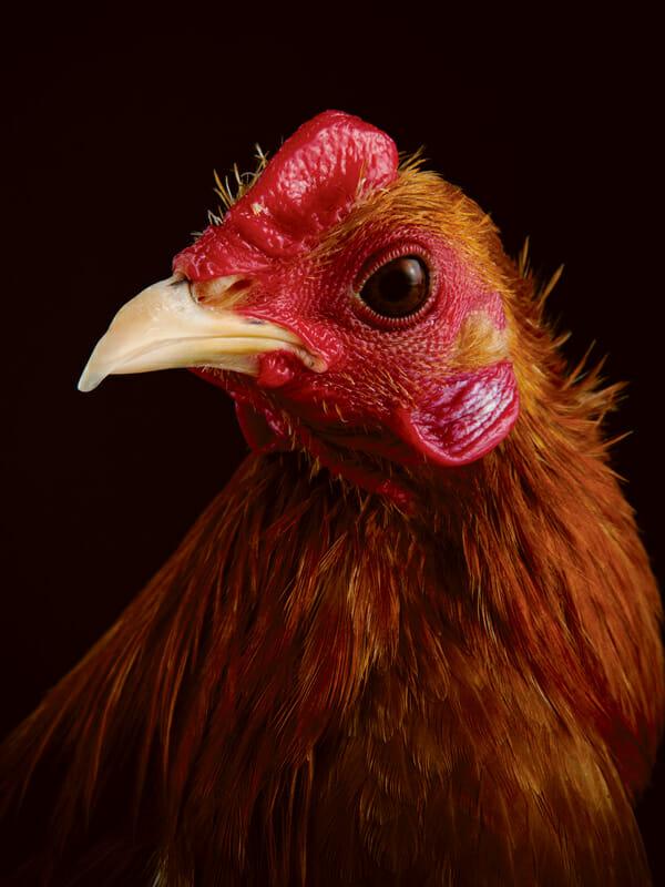 http://modernfarmer.com/wp-content/uploads/2013/04/Chicken-ModernBantam.jpg