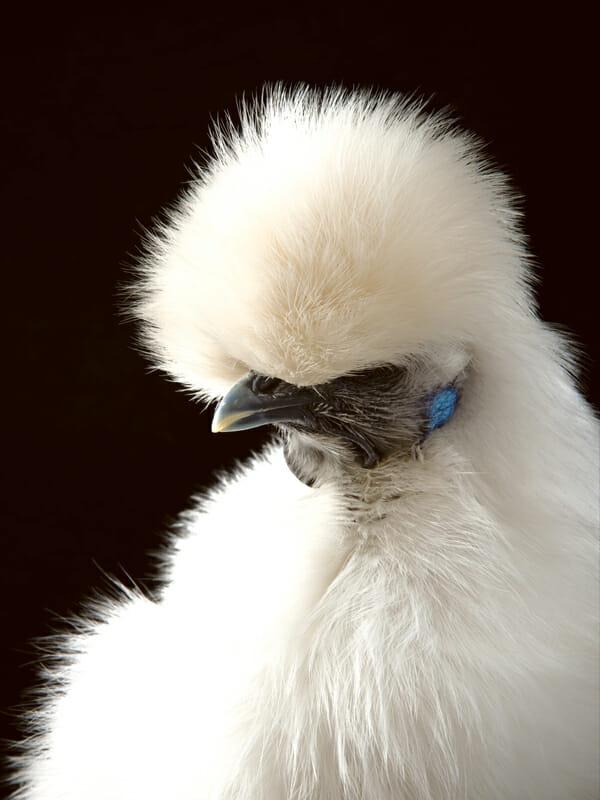 http://modernfarmer.com/wp-content/uploads/2013/04/Chickens-Silkiehen.jpg