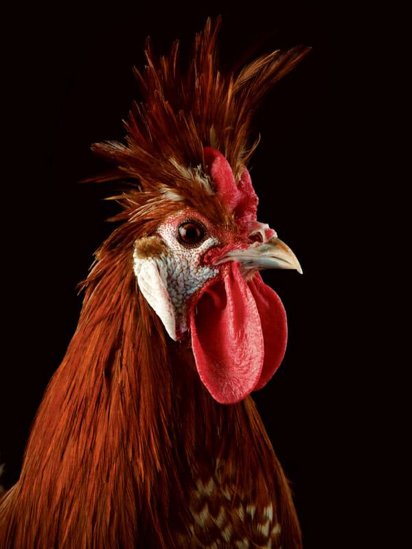 http://modernfarmer.com/wp-content/uploads/2013/04/chicken-Chamoise.jpg