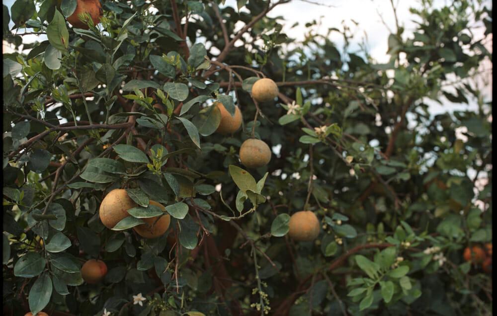 Oranges, greening