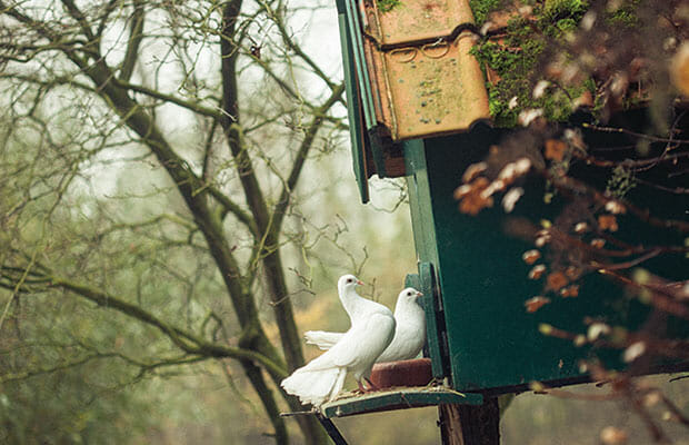 Domesticated Fantail doves on the property.