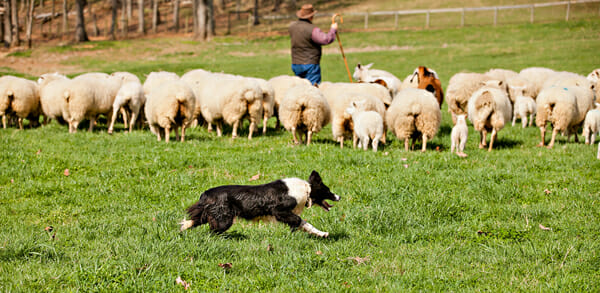 A sheepdog helps keep the flock together.