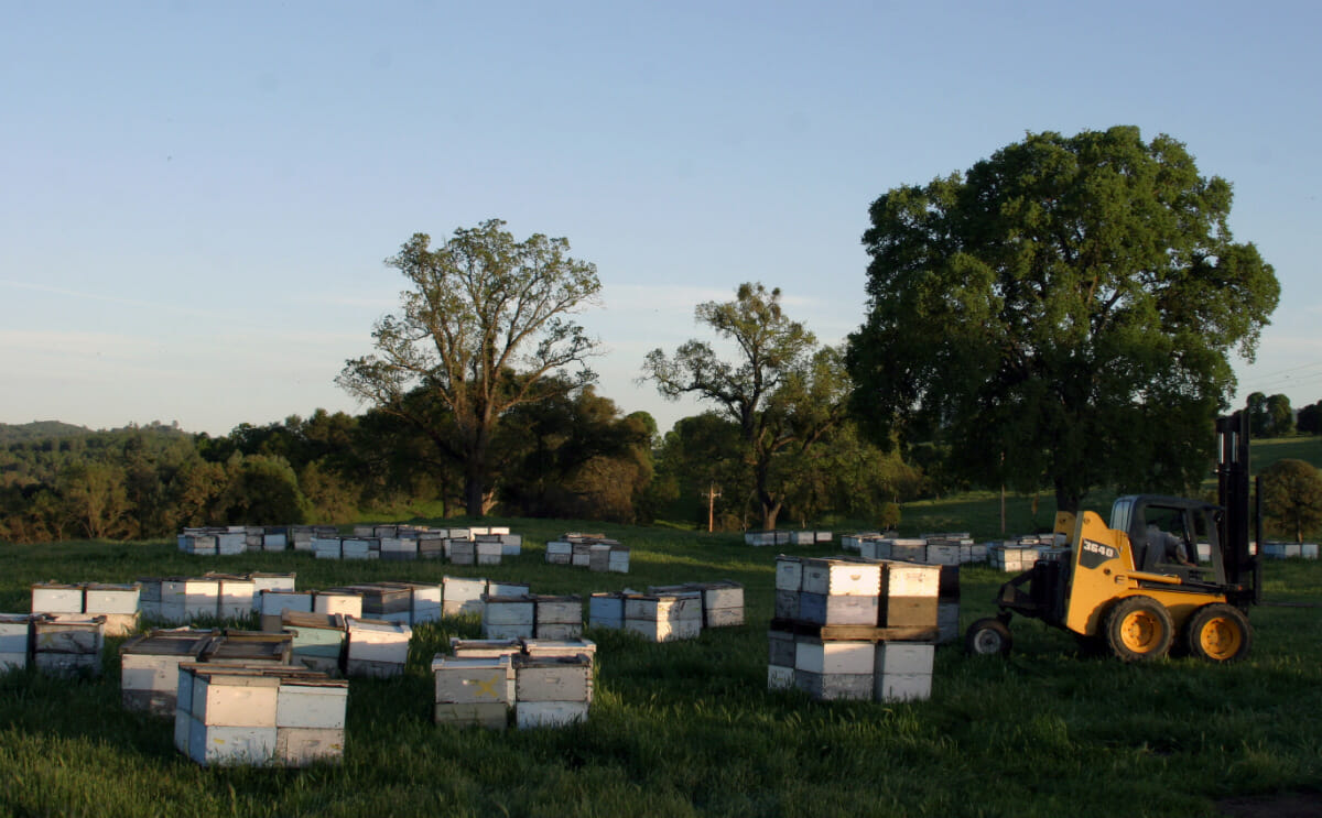 Ellis brings his bees west to help pollinate California's almond trees; as bee numbers decline, almond producers suffer, too.