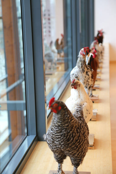 A line of chickens on display in Brussles at the Europe (to the power of) showing.