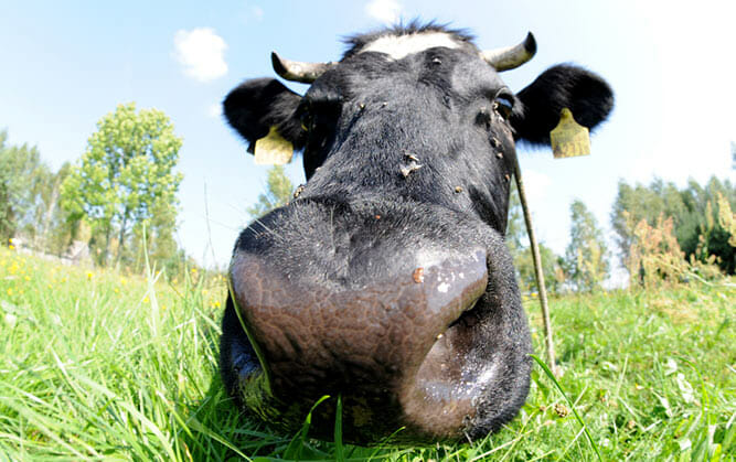 cow-up-close