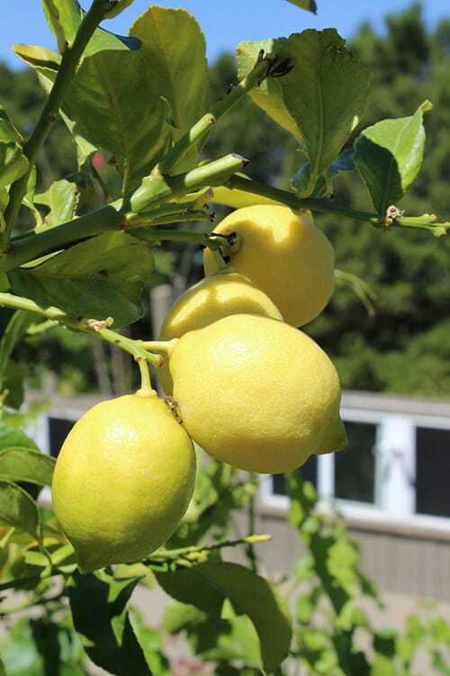 Genoa lemons growing at Abounding Harvest Mountain Farm in Los Gatos, CA.