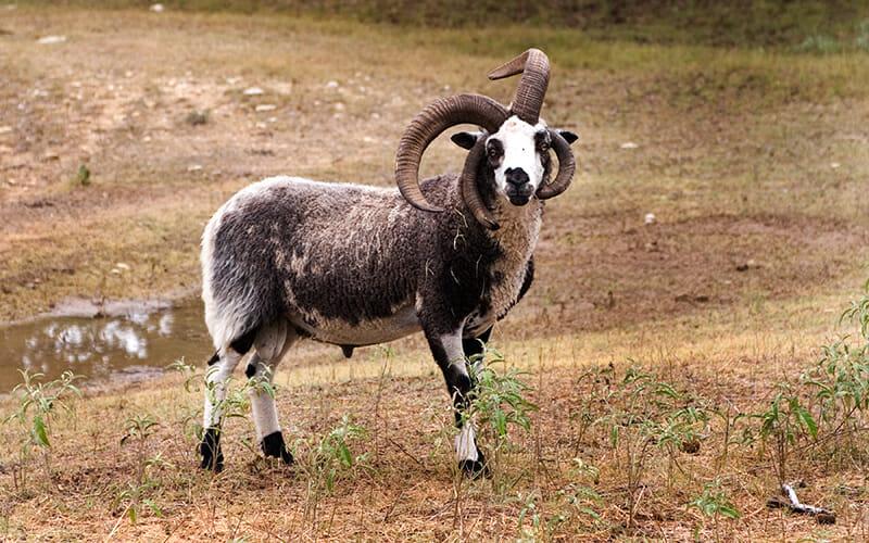 jacob-sheep